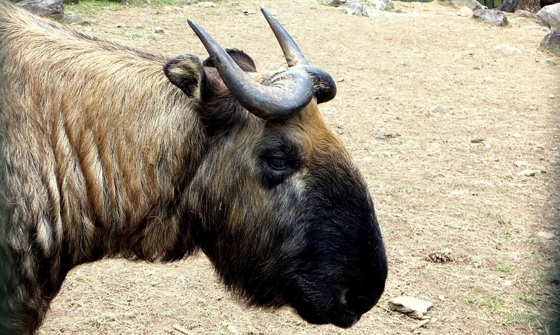 The Takin, Bhutan's strange animal