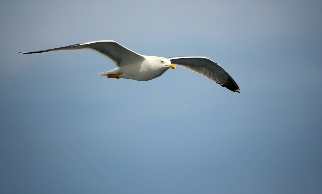A seagull seen from the ferry on the way to Brač - Day trip to Brač