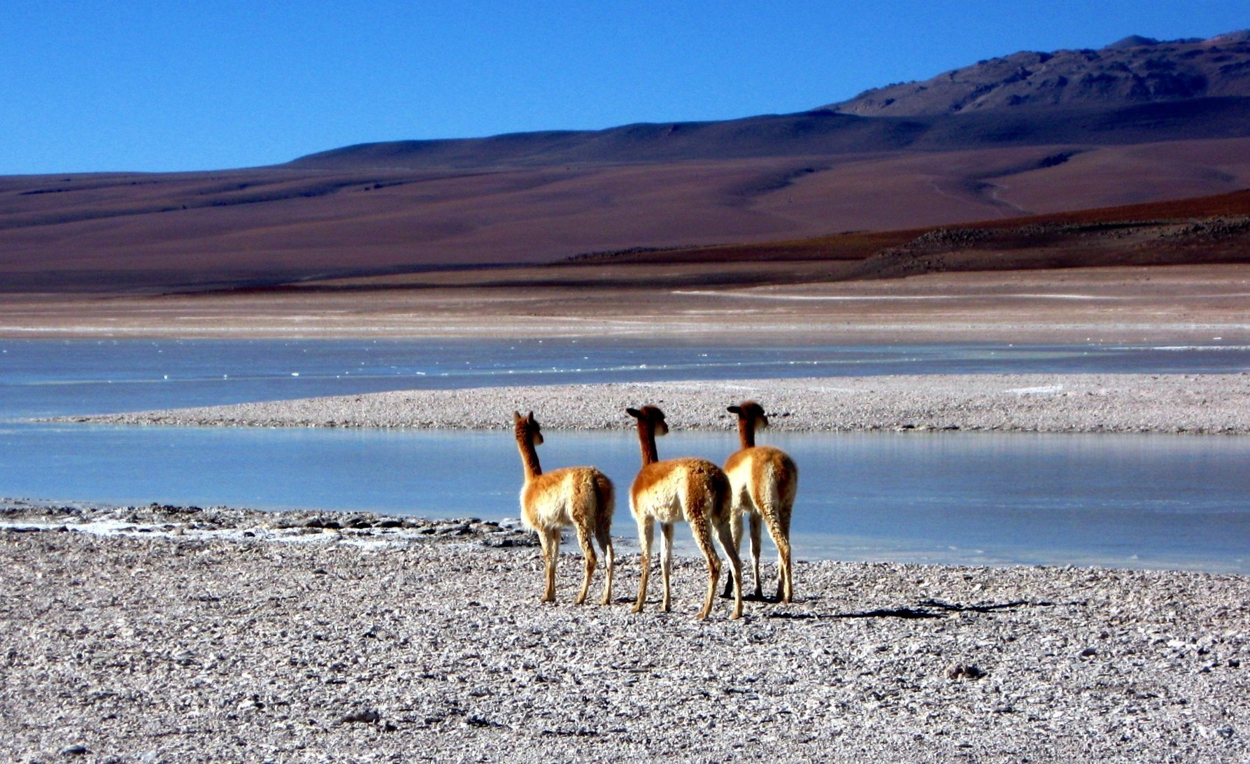 Vicunas close to Laguna Verde in Bolivia - A photo blog of Bolivia
