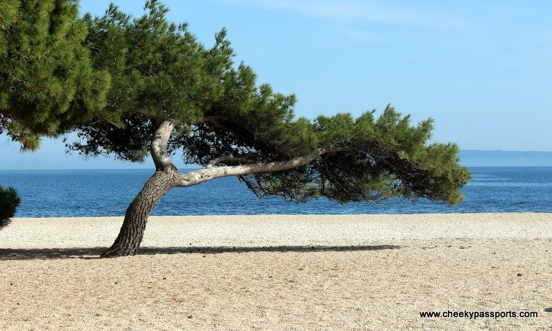 A tree growing in the sand on a beach in Brac - a trip to Croatia