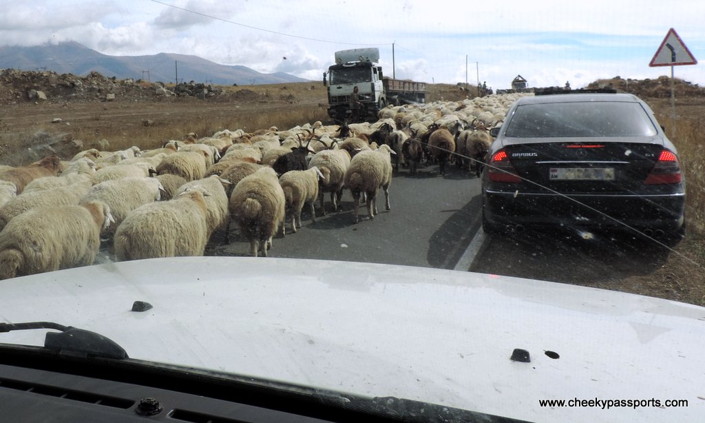 view through car windscreen showing a herd of sheep on the motorway. was it a map or gps that got us in this?