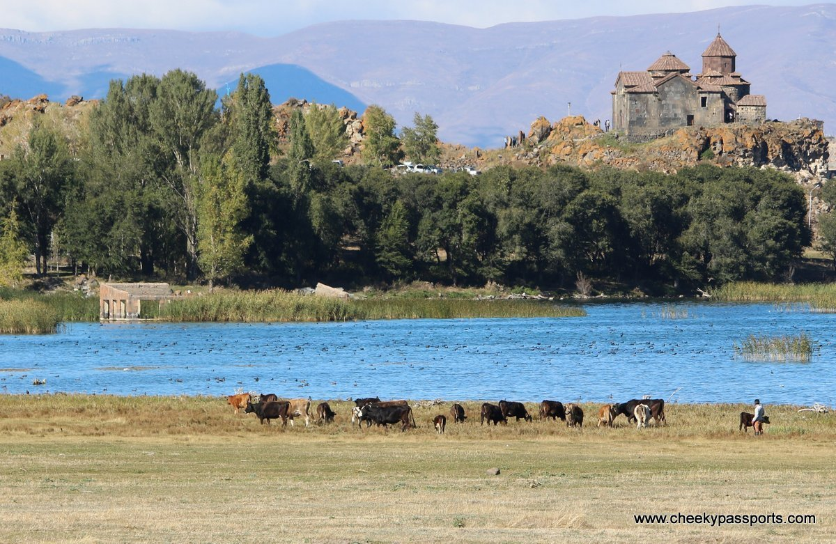 Cows graze in the fields near the lake with Hayravank monastery in the distance