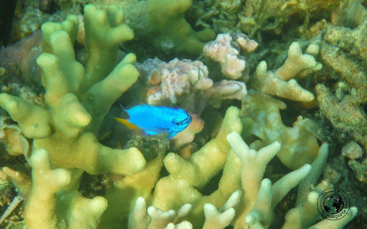 Tourist spots in Coron, Palawan - Coral formation and blue fish during island hopping in Coron