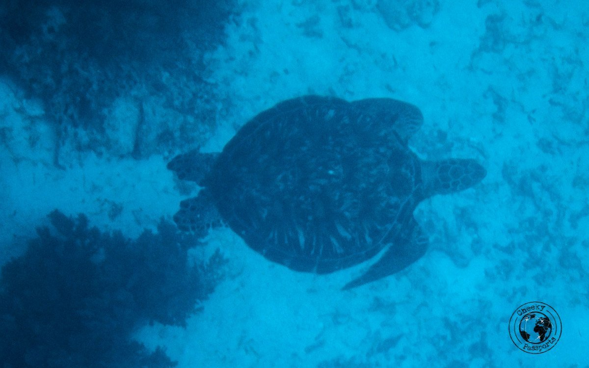 Turtle watching Balicasag Island - Why we won't recommend Island hopping in Panglao
