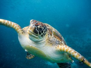 the blind turtle of Pangasama beach, Moalboal