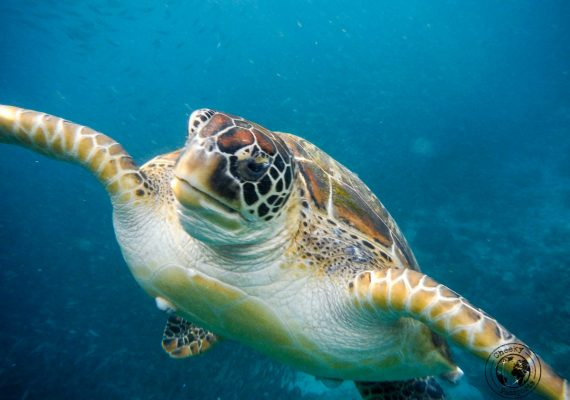 the blind turtle of Pangasama beach, Moalboal