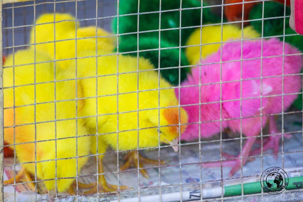 oddly coloured chicks - san pedro cutud