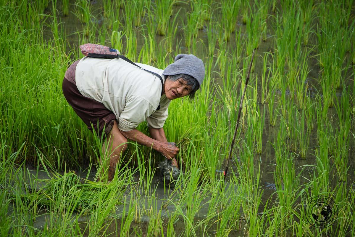 a farmer working hard at the rice terraces of Banaue - Banaue Rice Terraces Tour