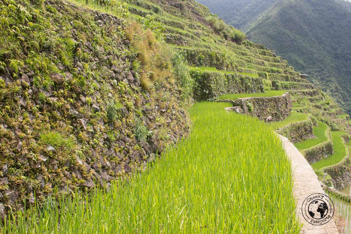 a close up of some rice terraces of Banaue and Batad