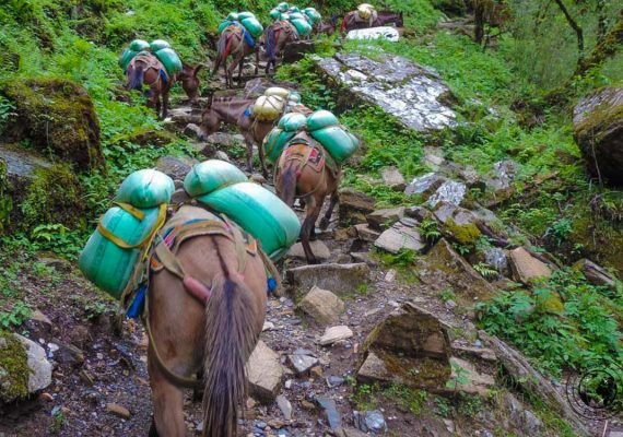 porter horses at the Poon hill trek, Pokhara