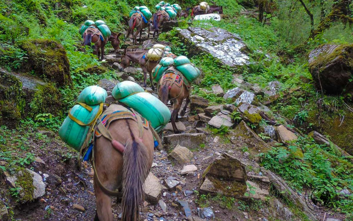porter horses at the Poon hill trek, Pokhara