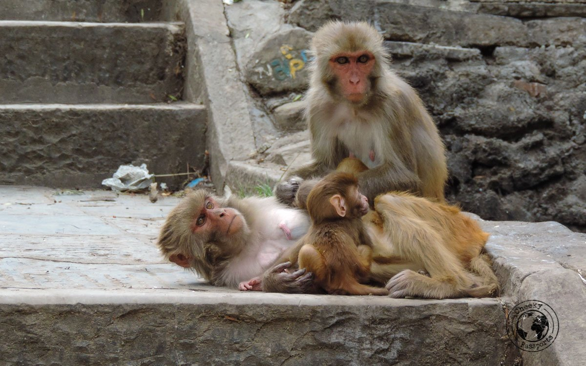 Monkey invasion at the Swaymbhunath temple