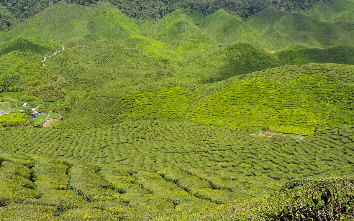 Where to stay in Malaysia -More Tea plantations at Cameron Highlands