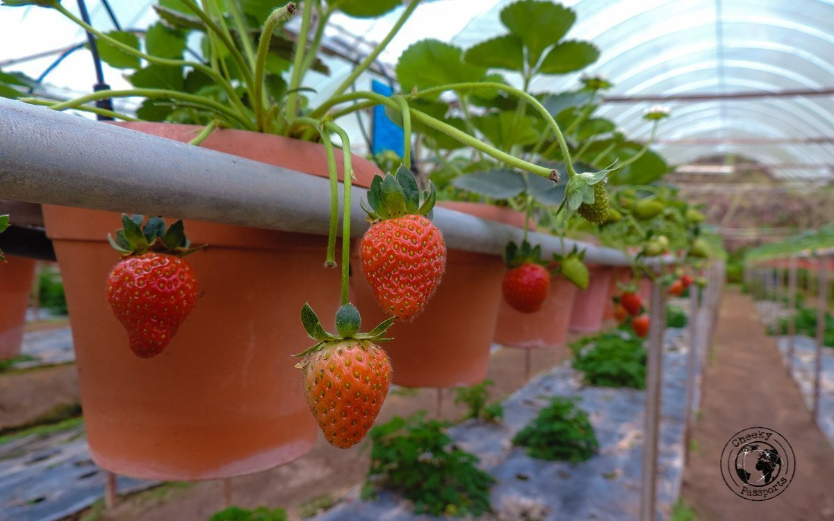 Strawberries at Cameron Highlands. Strawberry farms are popular places to visit in Cameron Highlands
