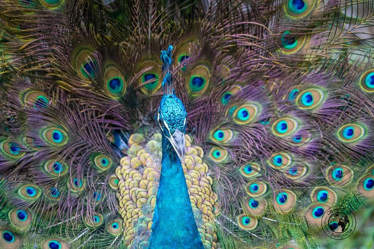 Peacock at the Bird Park- Top tourist spots in Kuala Lumpur