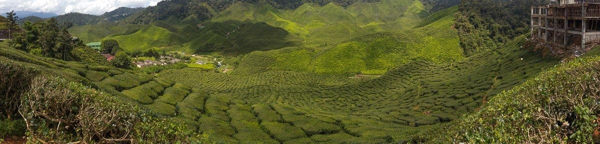 Tea Plantations Panoramic in Cameron Highlands