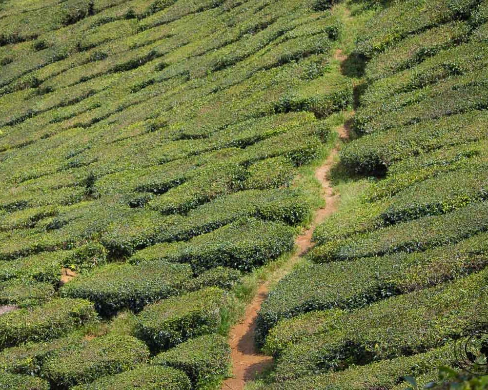 Cameron Highlands on a Budget