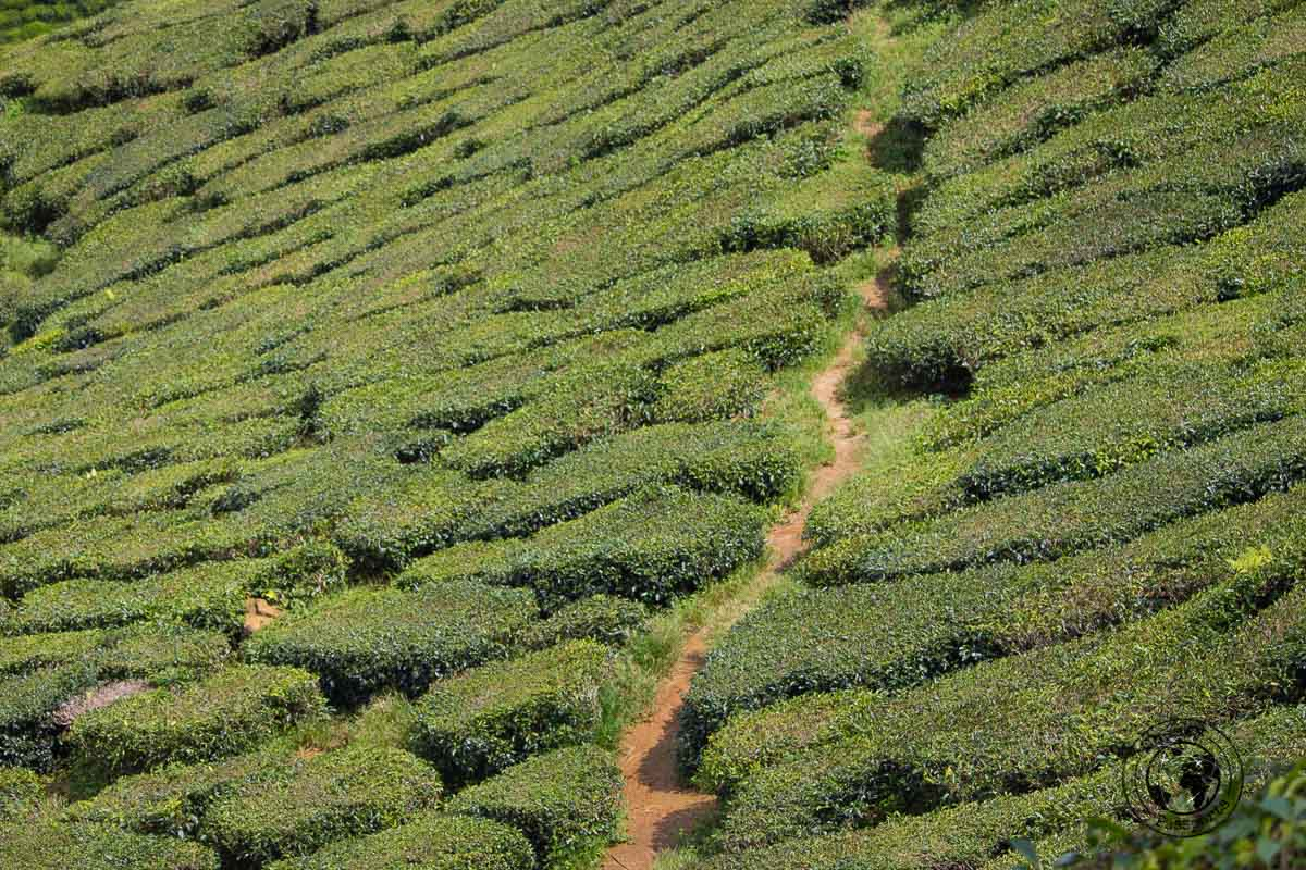 Tea Plantations in Cameron Highlands - Places to visit in Cameron Highlands on a Budget