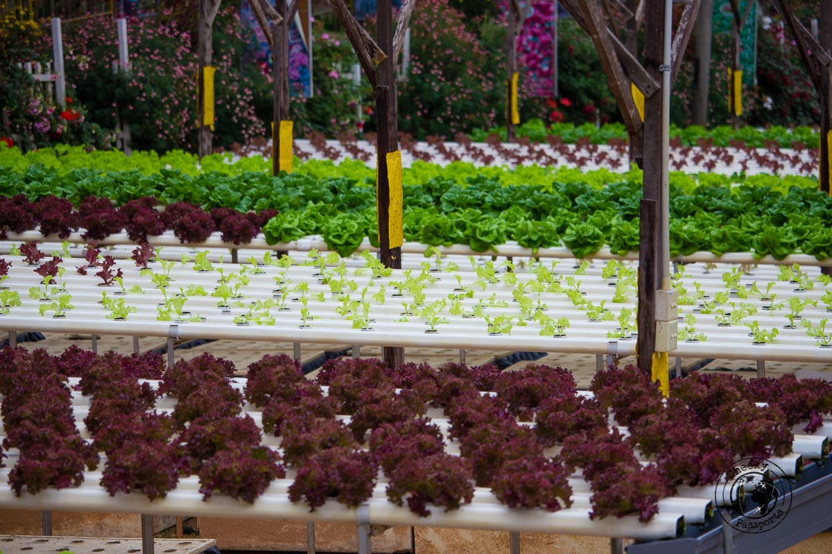 vegetable farms - Places to visit in Cameron Highlands