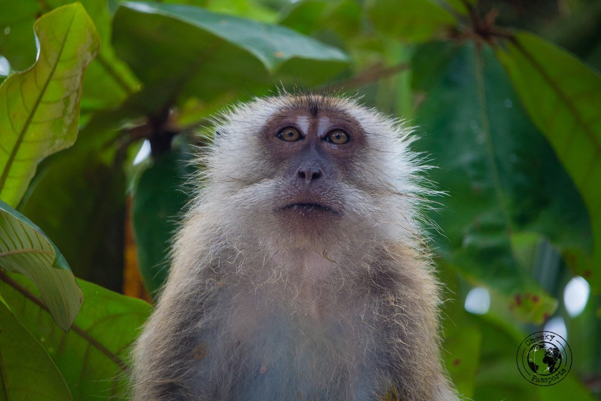 Monkey at monkey beach - things to do in Penang - traveling in southeast asia