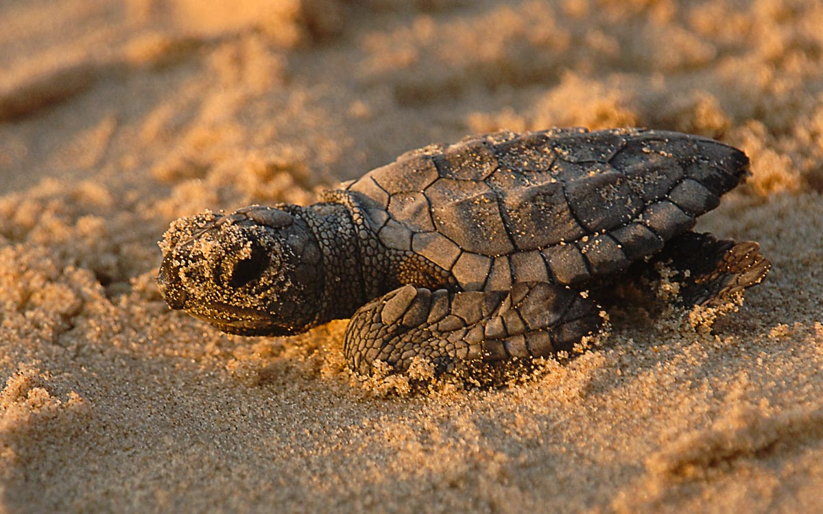 turtle-photo credit skeeze - What to do in Tioman