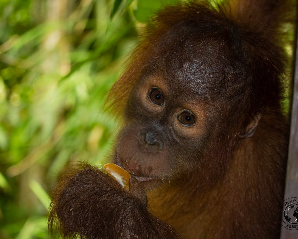 Bukit Lawang – Home of the Orangutans in Sumatra