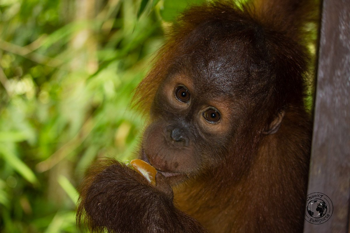 Baby Orangutan - Bukit Lawang - Home of the Orangutans in Sumatra