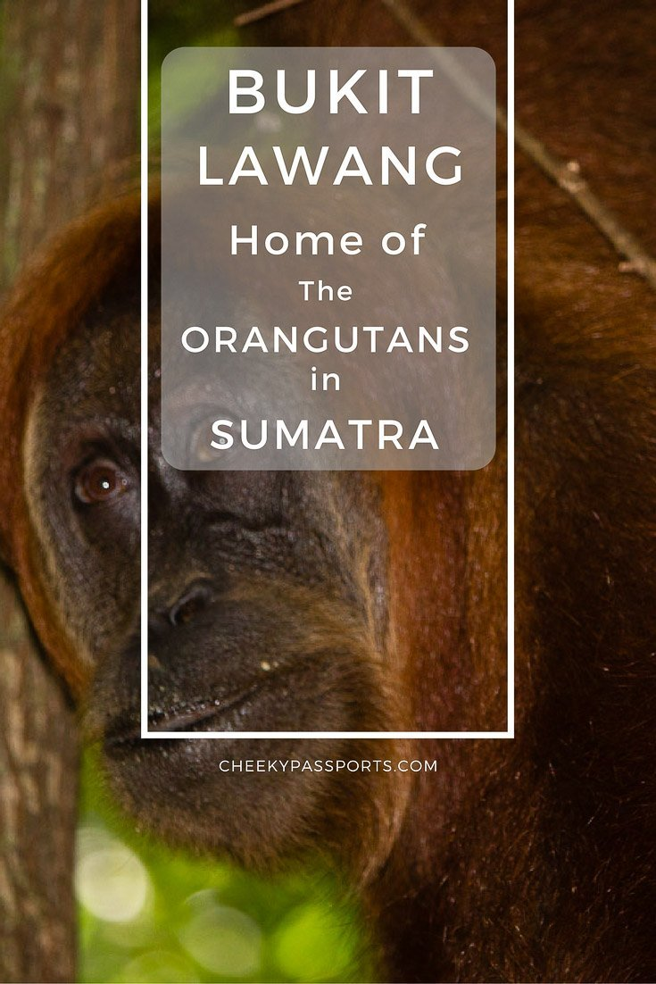 Bukit Lawang - Home of the Orangutans in Sumatra - A Bukit Lawang trekking experience in Sumatra is a sure way of spotting orangutans. Read our tips for observing the beautiful creatures responsibly. #indonesia #sumatra #orangutans #travel #adventure