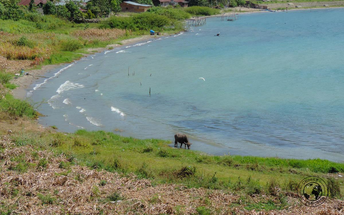 Buffalo on the shores of Lake Toba - things to do in Lake Toba