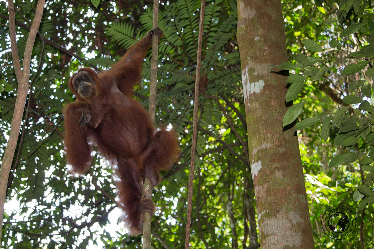 Orangutan enjoying the view - Bukit Lawang trekking