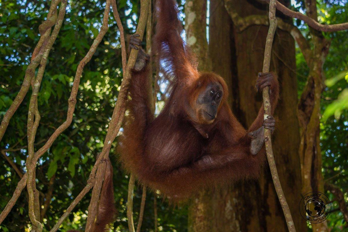 Orangutan hanging from a tree - Bukit Lawang trekking