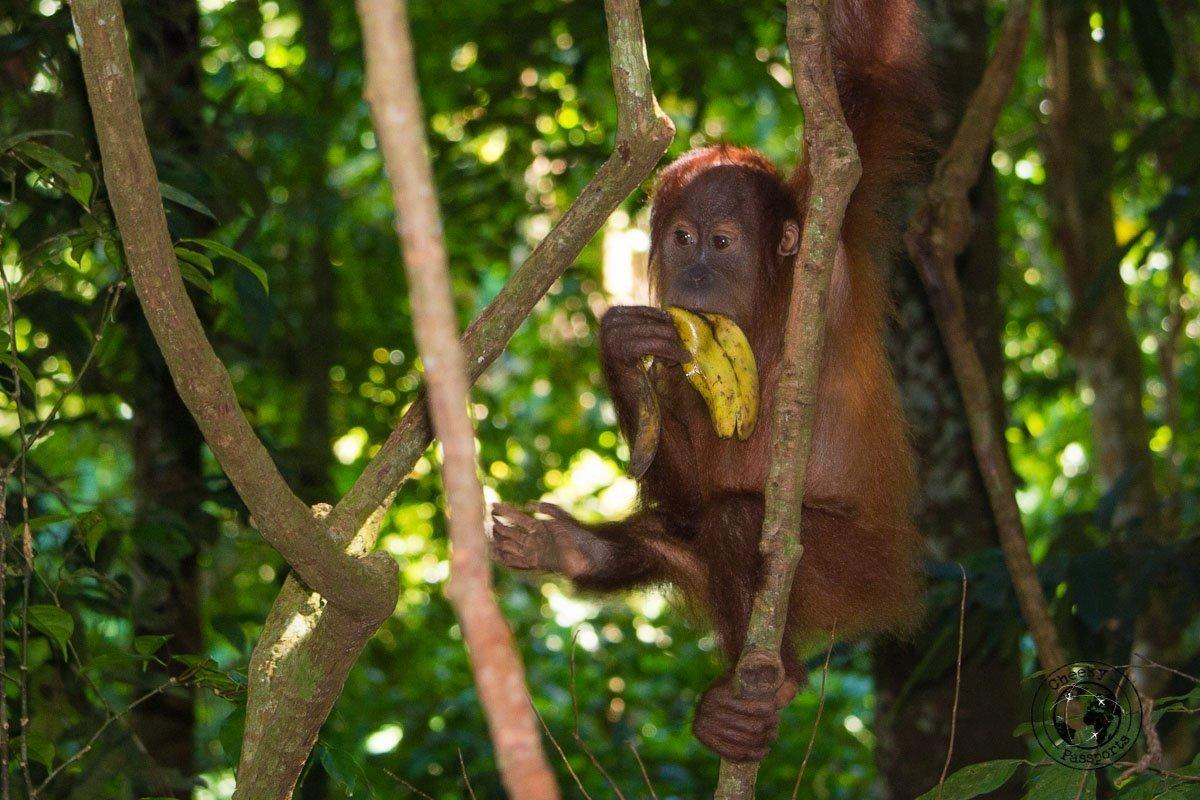 Orangutan having a snack - Bukit Lawang trekking