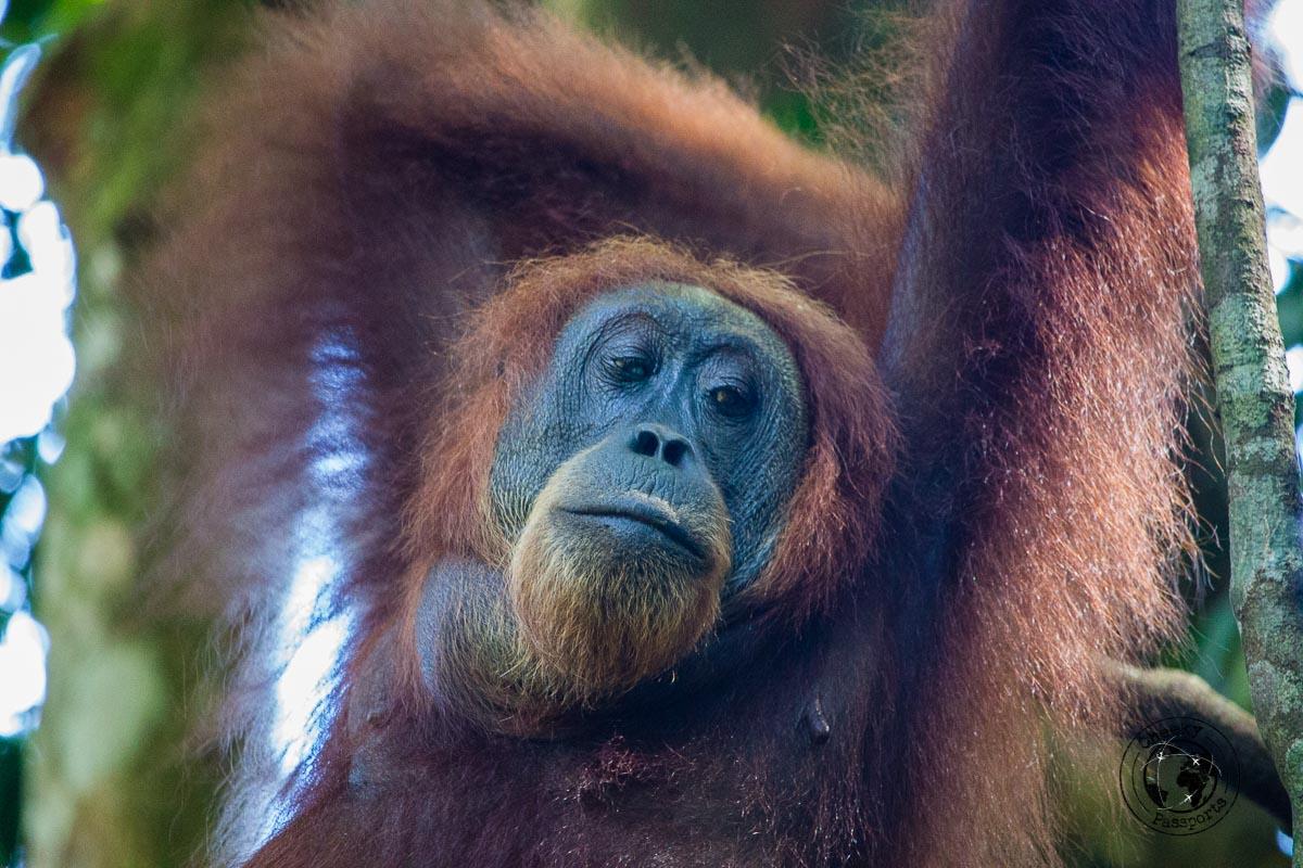 Posing orangutan - Bukit Lawang trekking
