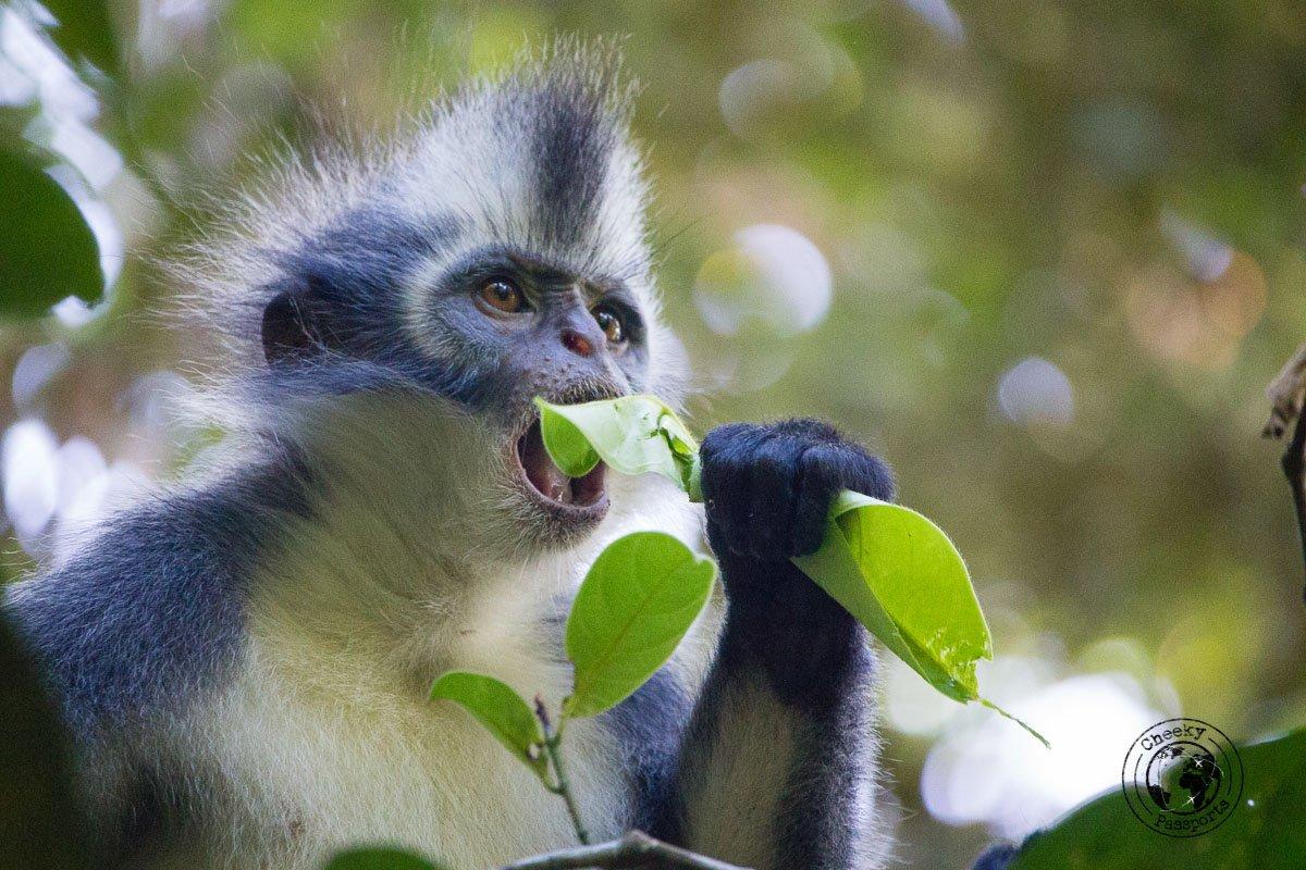 Thomas Leaf Monkey - Bukit Lawang trekking
