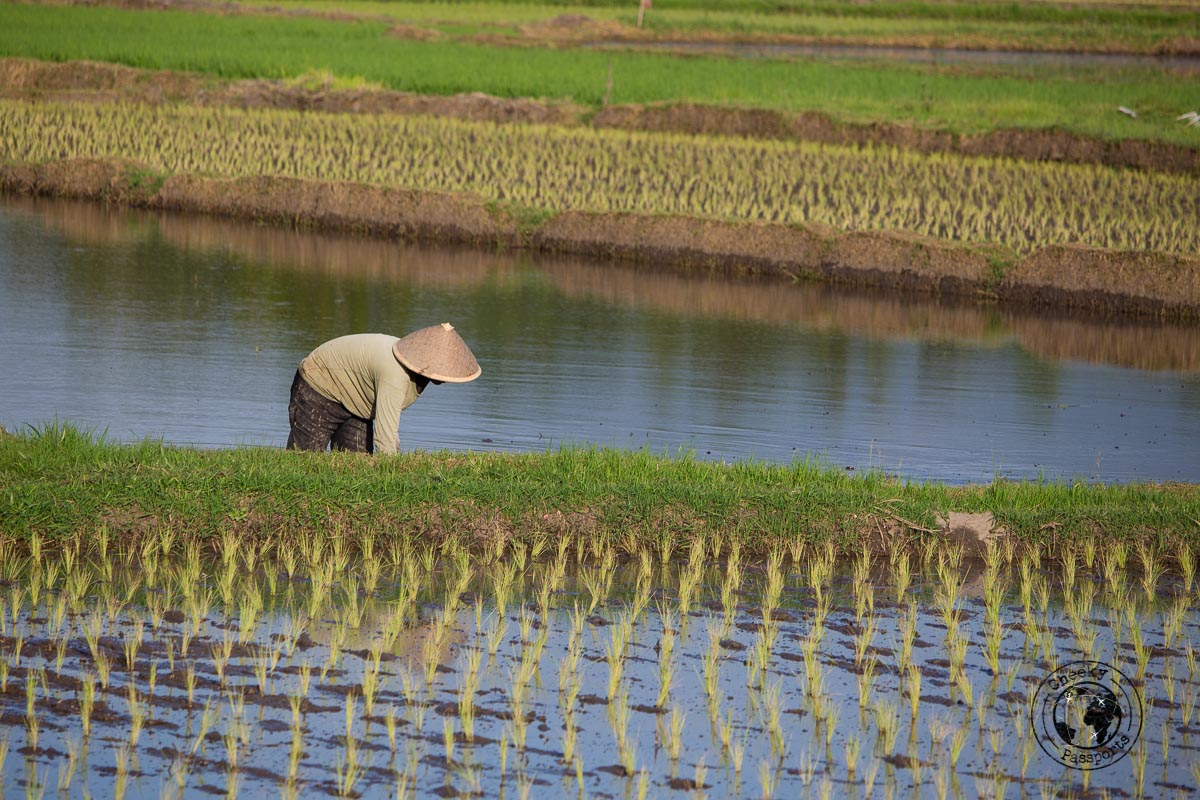 farmers at the rice fields - things to do in Bukittinggi West Sumatra