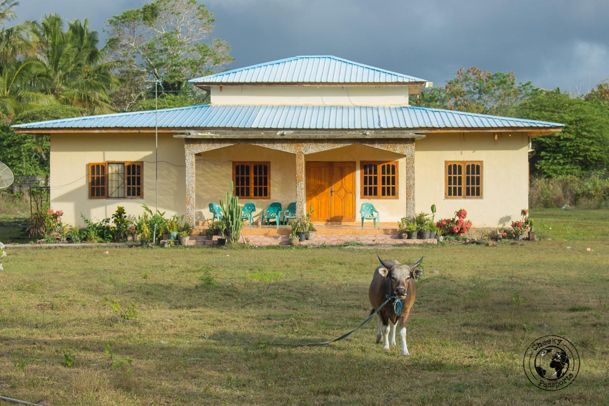 A house guarded by a cow in Los Palos - How to get to Jaco Island in Timor-Leste – a guide