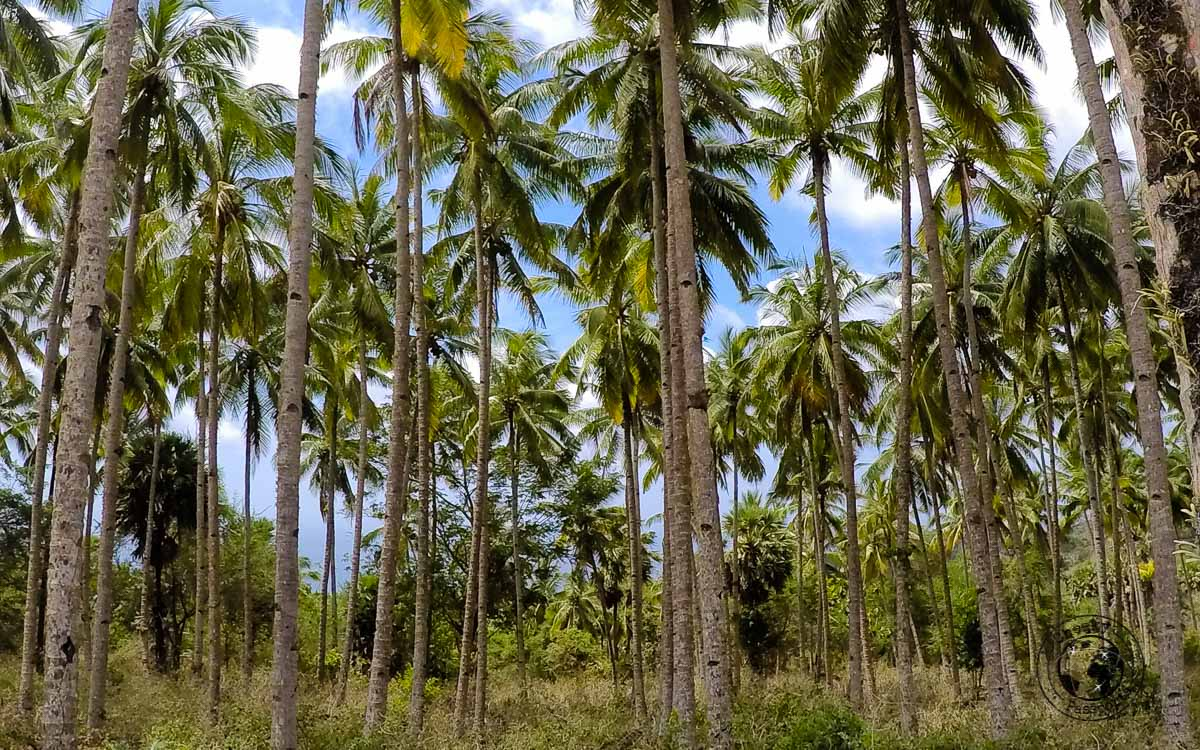 Palm trees on the way- How to get to Jaco Island in Timor Leste – a guide
