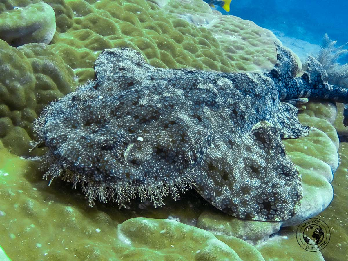 A Rare Wobbegong Shark - Diving with Diabetes