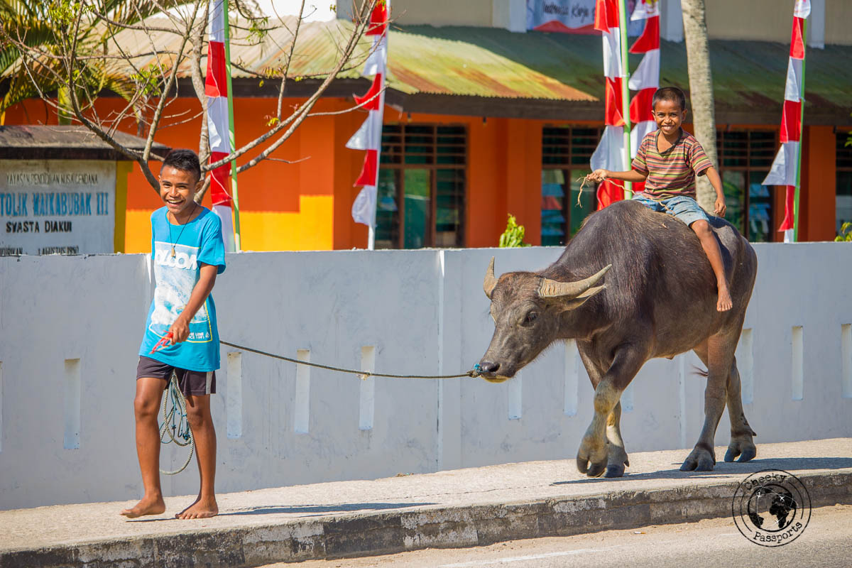 Buffalo walking - Things to do on Sumba Island Indonesia