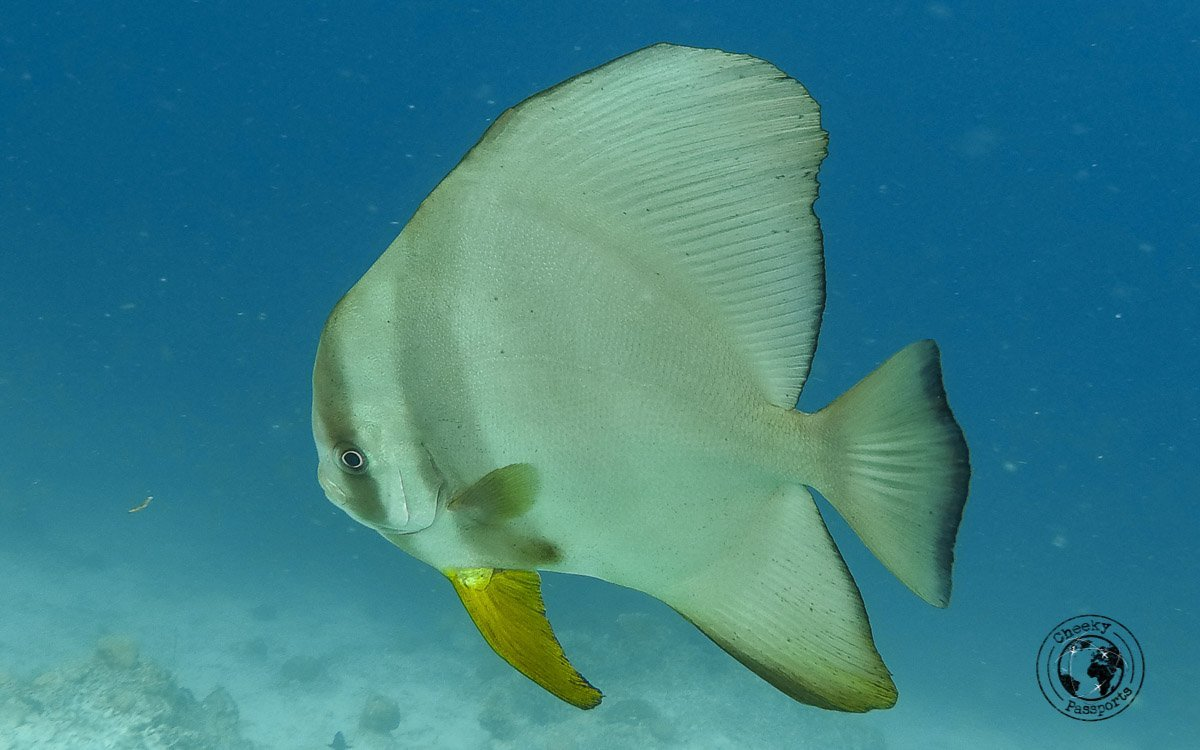 Discus Fish - Diving with Diabetes