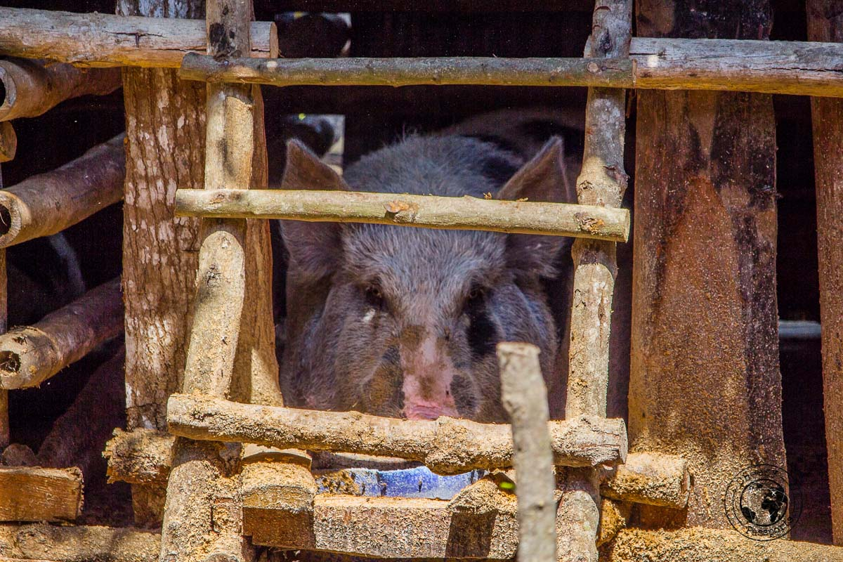 Livestock in Kampung Bodo Ede - Things to do on Sumba Island Indonesia