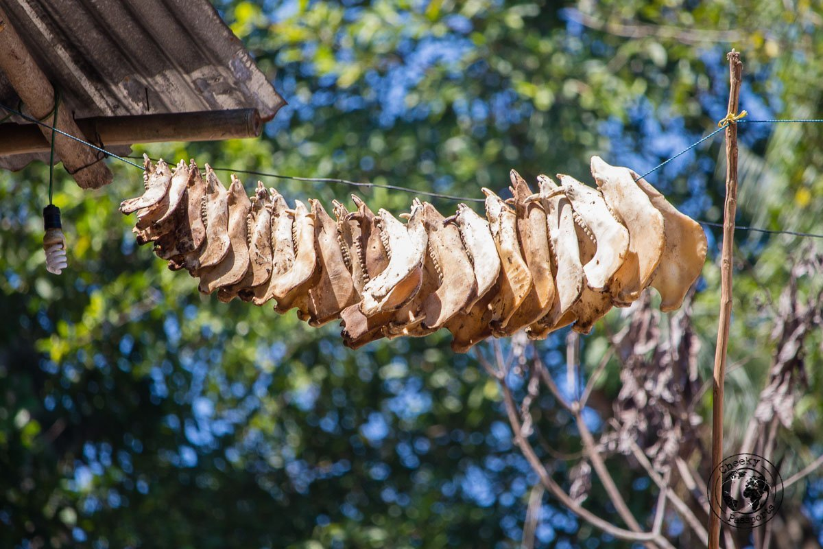 Pig jaws display - What to do on Sumba Indonesia