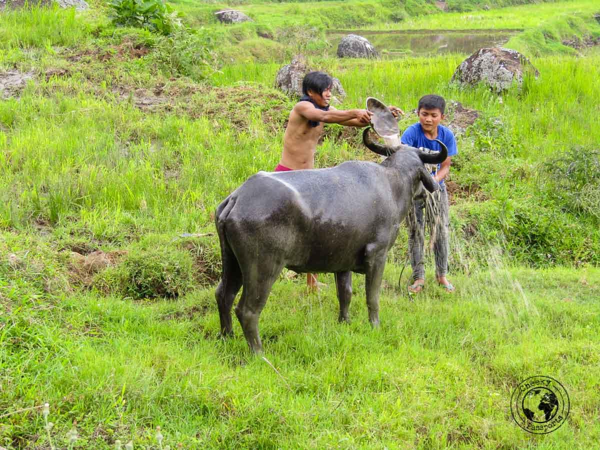 A Buffalo geeting a bath, not an uncommon sight in Tana Toraja, Indonesia
