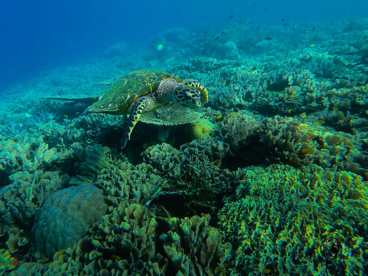 A turtle at one of the piers infront of Kri island in Raja Ampat