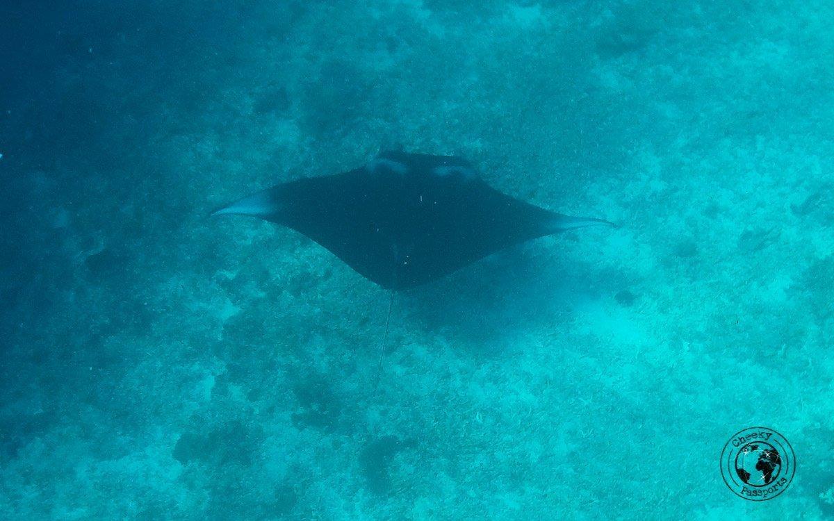 Manta Ray at Manta point - diving in Komodo and traveling in Flores