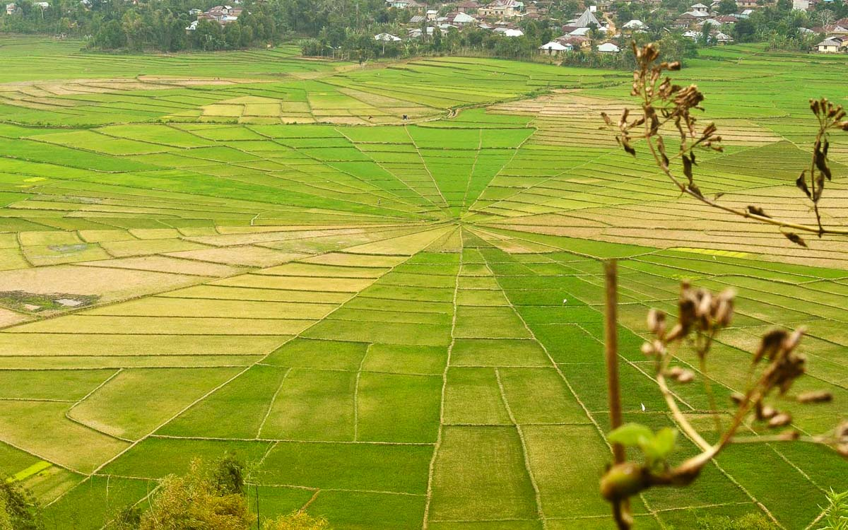 Spider Web fields in Cancer, Ruteng - photo credit Firmanamff