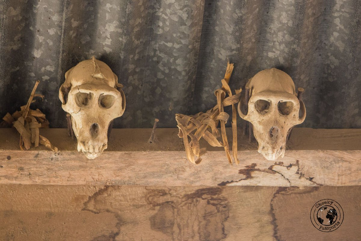 The skulls of thieving monkeys punished for their crimes