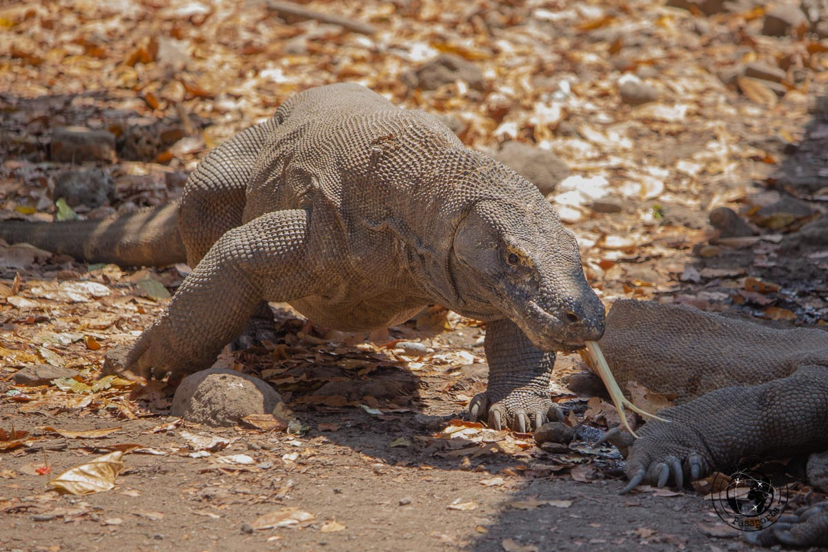 a Komdo Dragon's long tongue at the Komodo National Park - traveling accross Flores island Indonesia