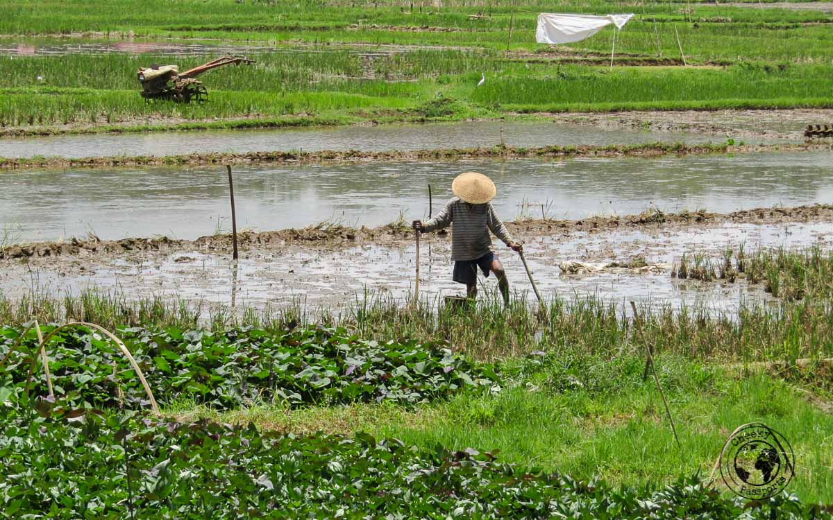 a farmer attending to his crops in Tana Toraja, Indonesia
