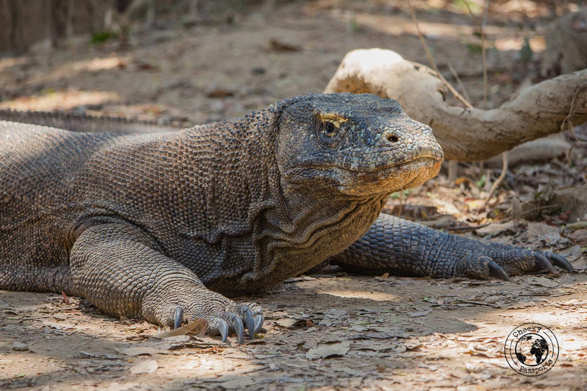 a menacing look from a Komdo dragon at the Komodo National Park - traveling across Flores island Indonesia